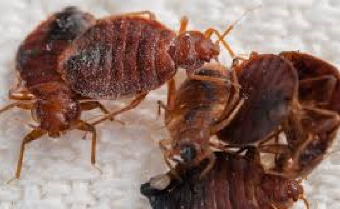 Bed Bugs Hitchhike Around the World