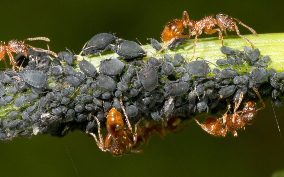 Ants – The Oldest Farmers on Earth!