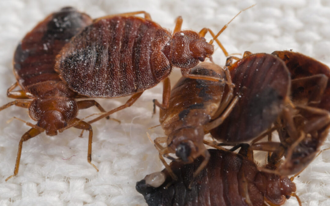 """IN THE BEGINNING, THERE WERE """"BED BUGS"""""""