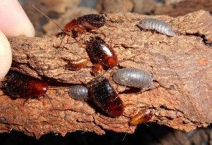 Wood roaches and sowbugs