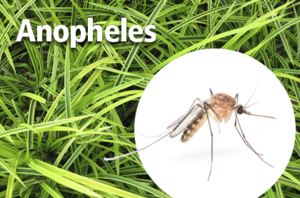ANOPHELES MOSQUITOES