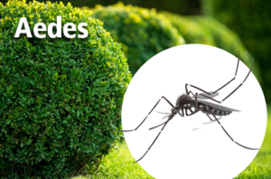 AEDES MOSQUITOES