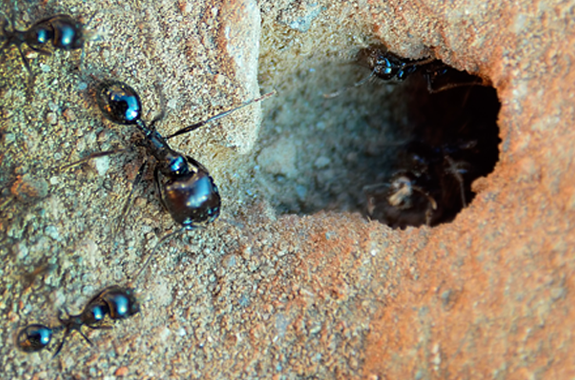 Ant Control Maintenance