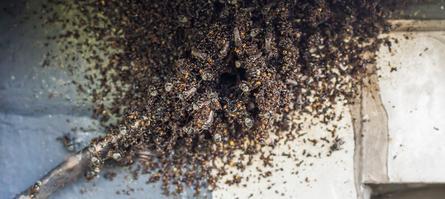 Corky's Bee Identification