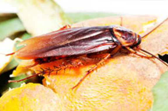 There are actually four main kinds of indoor cockroaches that are categorized as pests.