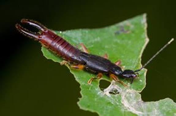 Earwigs are omnivorous and look to hide in a moist, dark place.