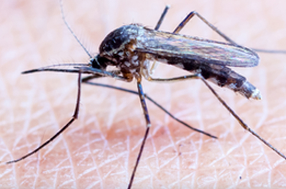 The main disease spreading groups of mosquitoes you'll encounter are Anopheles, Culex and Aedes.