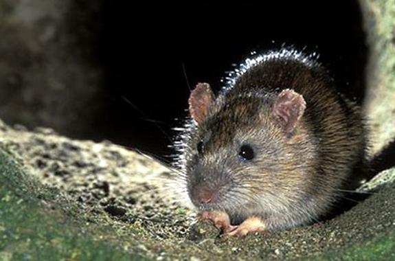 rats san diego