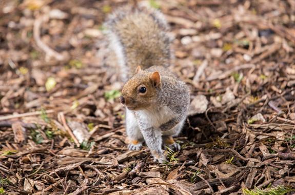 squirrels san diego
