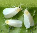 Whiteflies Small