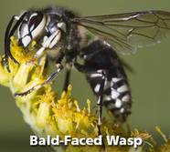 Bald-Face Wasp