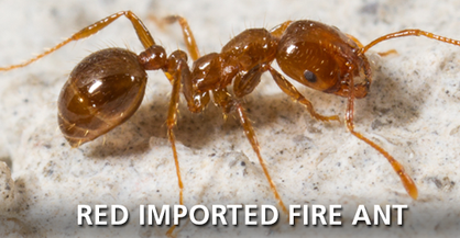 Red Imported Fire Ant