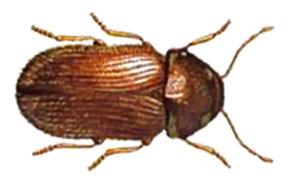 Drug Store Beetle