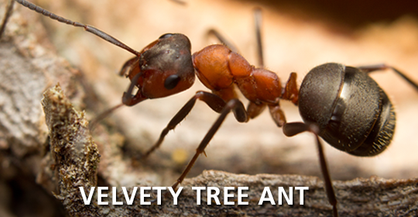 Velvety Tree Ant