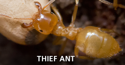 Thief Ant