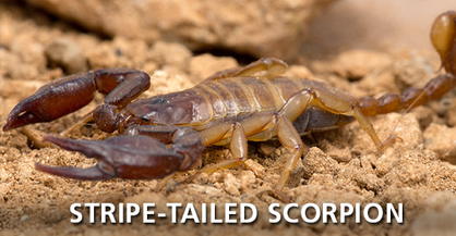 Stripedtail Scorpion