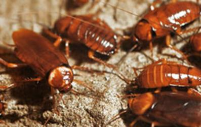 Cork's Cockroach Pest Control Services