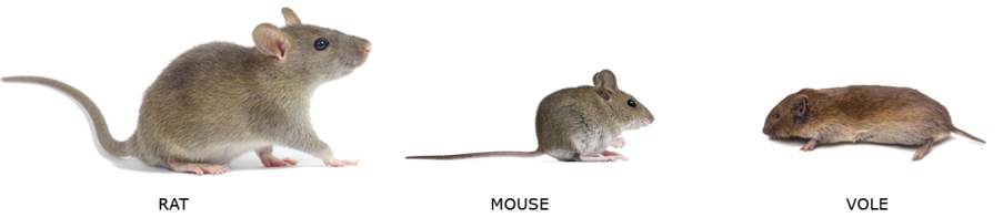 Rat, Mouse, Vole
