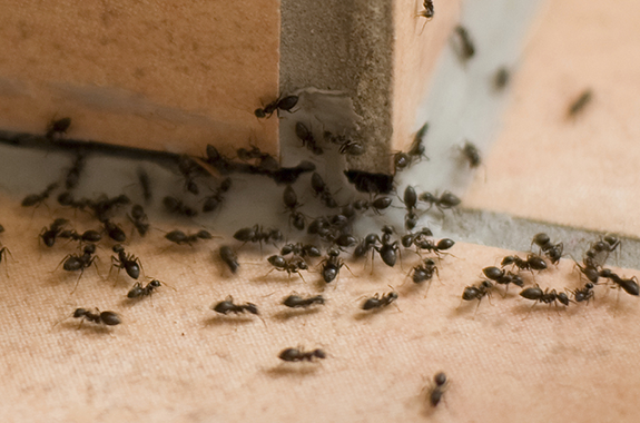 Wondering why there are ants in your kitchen?