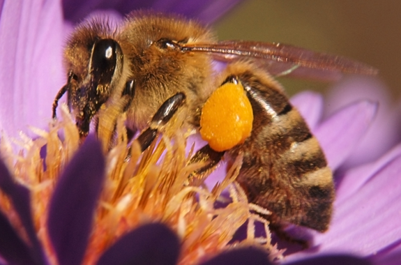 It is difficult to differentiate the European honey bee from the Africanized honey bee.
