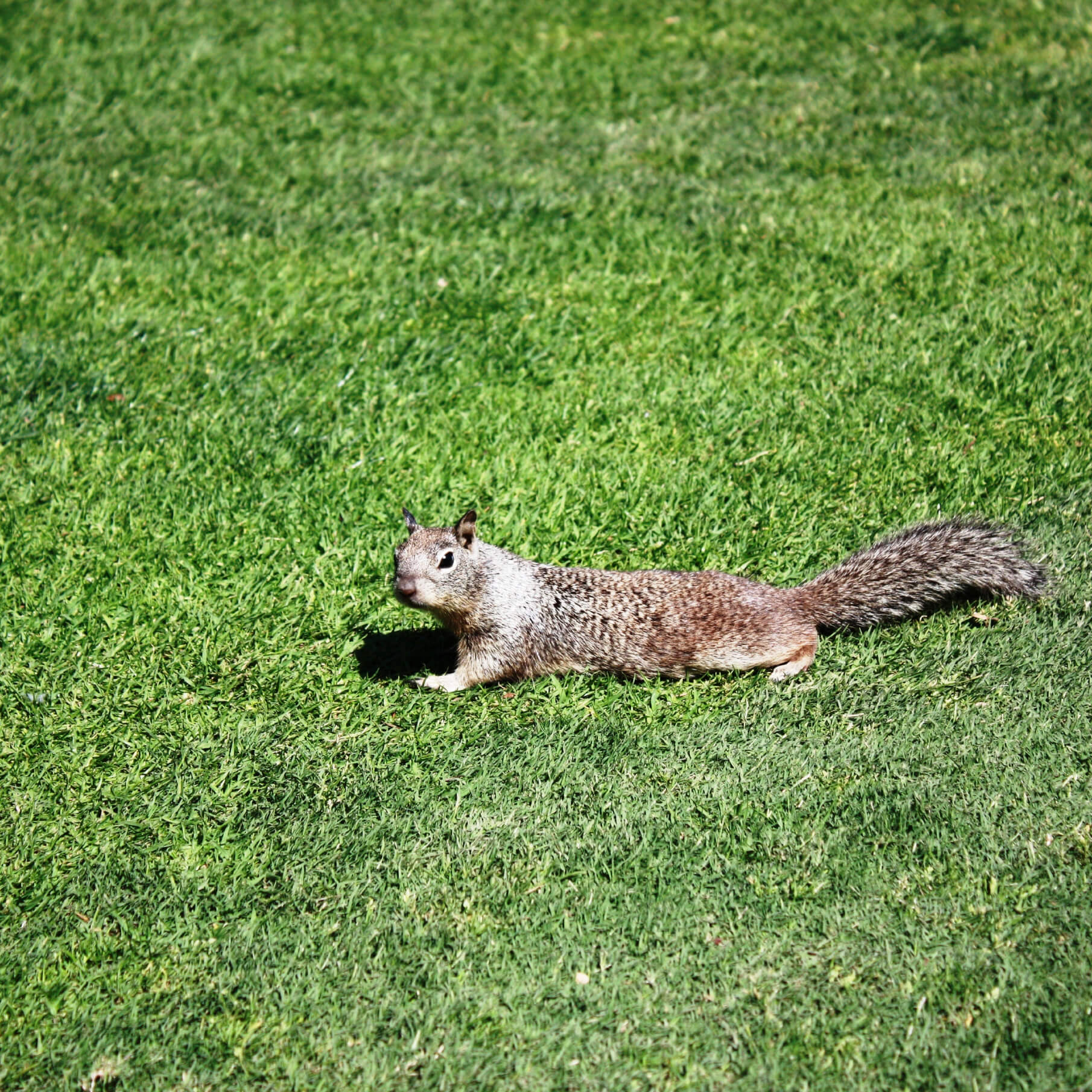 Ground Squirels