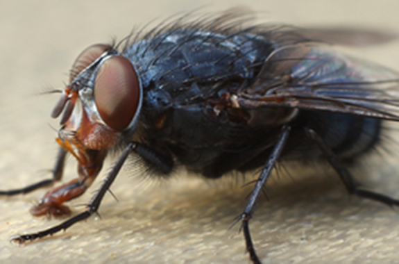 House flies can carry diseases and bacteria such as typhoid, cholera and dysentery, salmonella, anthrax and tuberculosis.