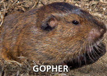 Pocket Gophers