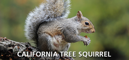 California Tree Squirrel