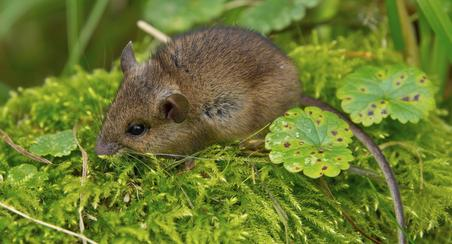 There are many kinds of mice. These are the most common in Southern California.