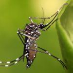 Aedes-egyepti