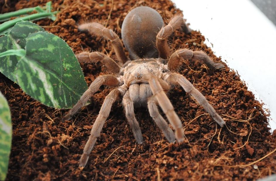 TARANTULAS ARE LOOKING FOR LOVE  EARLY IN SOUTHERN CALIFORNIA