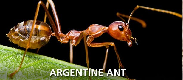 Argentine Ants and Chemical Warfare