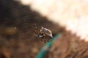 wasp-spider-3659351_640
