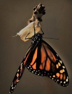 butterfly-emerging-from-cocoon-1518060_640