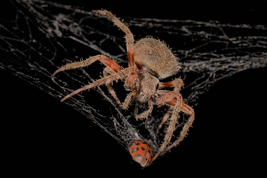Spiders – Very Hungry Hunters!