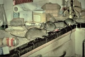 rats-in-kitchen-3