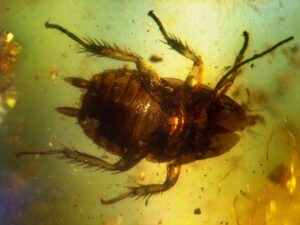 Cockroach 40 to 50 million years old in amber