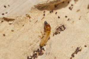 drywood-termite-soldier-and-frass