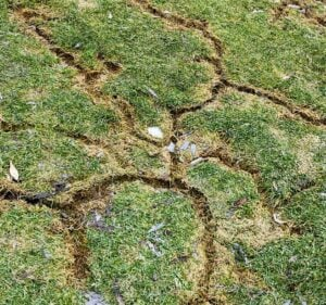 vole-damage-to-lawn