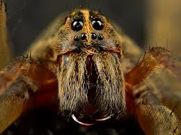 wolf-spider-eyes-and-fangs