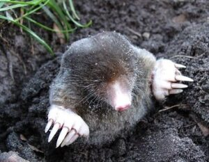 mole-in-mole-hill