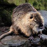 Nutria, swamp rat