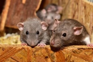 rats-2-cute