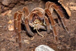 spider-tarantula-eating-4362987_1280