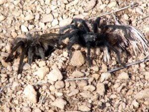 tarantulas_meet