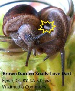 garden-snails-mating-and-love-dart-2-4-21