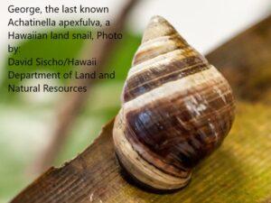 george-the-last-hawaiian-tree-snail