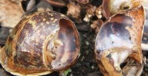 snail-shells-eaten-by-rats-blog-2-3-21