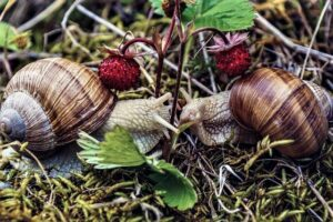 snails-in-strawberry-patch-2-2-21